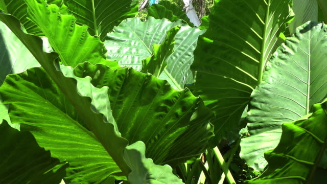 Big green leaves; tropical background video