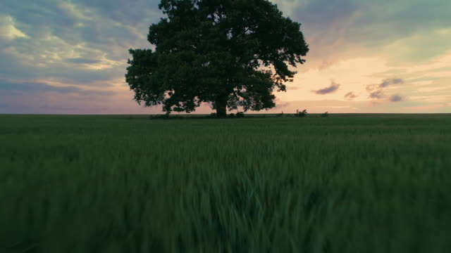 Big green tree in a field, dramatic clouds and  colorful sunset, video video