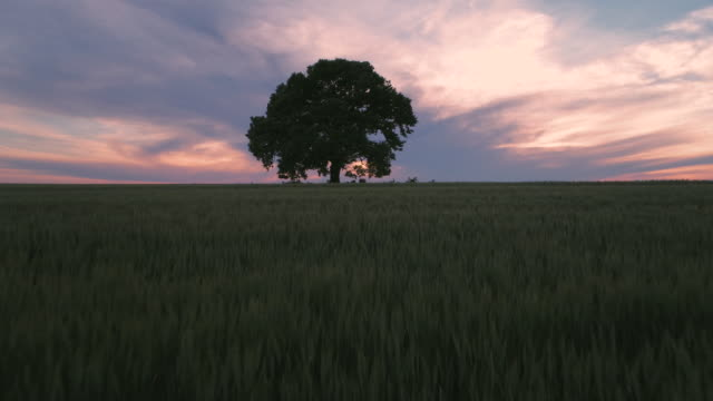 Big green tree in a field, dramatic clouds and  sunset, video video