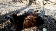 Big griffon lies on stones in aviary of Teberda reserve video