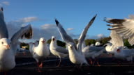 SLOW MOTION CLOSE UP: A big group of cute, curious seagulls following the camera video