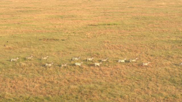 AERIAL: Big group of wild zebras running in line across savanna field at sunset video