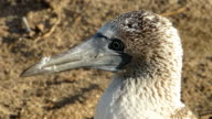 Big Head Of Blue Footed Booby video