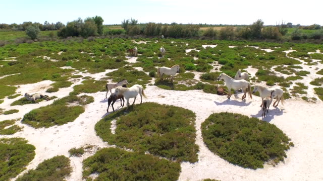 AERIAL: Big herd of beautiful wild horses in the nature video