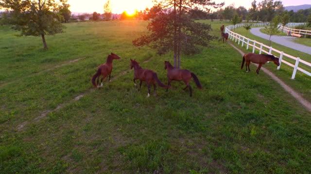 AERIAL: Big herd of brown horses running freely in meadow field on horse ranch video