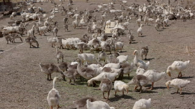 Big herd of geese. video
