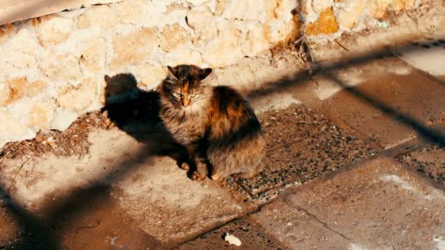 Big homeless cat on street video