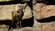 Big Horned Sheep, Ovis canadensis video