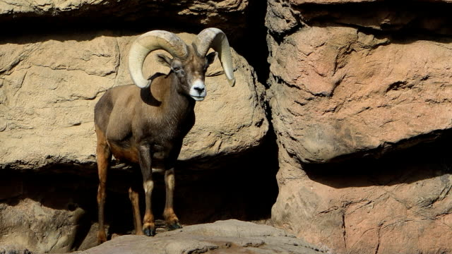 Big Horned Sheep, Ovis canadensis video