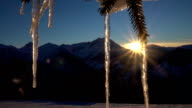 CLOSE UP: Big icy shining icicles on a snowy spruce tree at golden winter sunset video