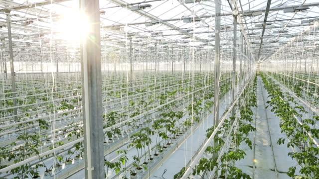 Big industrial greenhouse, rows of vegetables. video