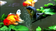 Big jelly goldfish siming in aquarium video