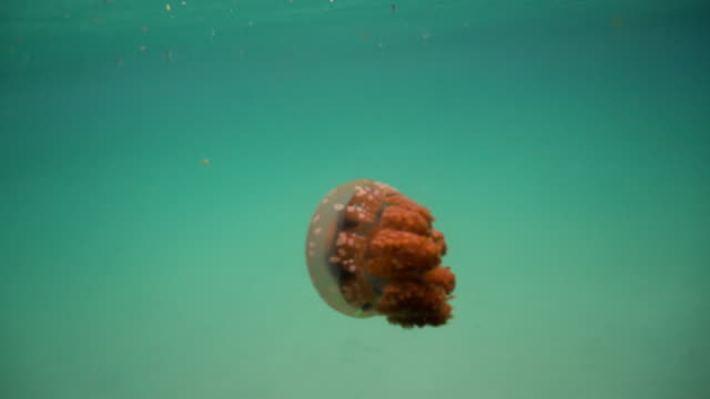 Big jellyfish in the water. Bucas Grande Island, Sohoton Cove. Philippines video