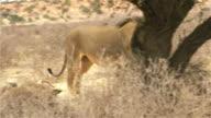 Big Kalahari Lion video