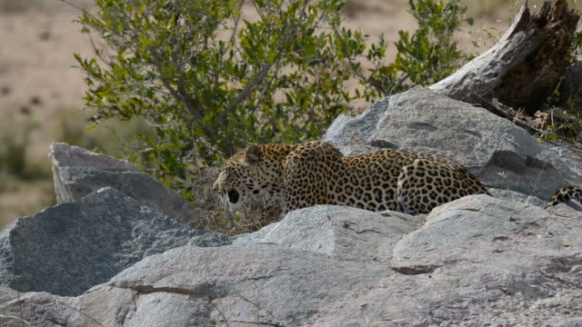Big Leopard in attacking position ready for an ambush between the rocks and bush. Kruger National Park, South Africa. Close up. video