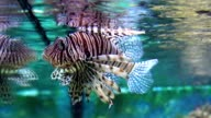 Big lion fish in Aquarium video
