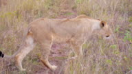 Big lioness looking for a prey in Africa video