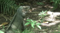 Big lizard 3 - HD 60i video