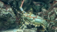 Big lobsters are hiding under the reef. video