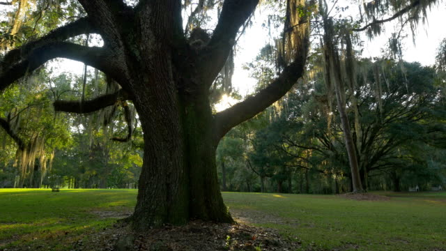 Big majestic live oak with romantic spanish moss on branches video
