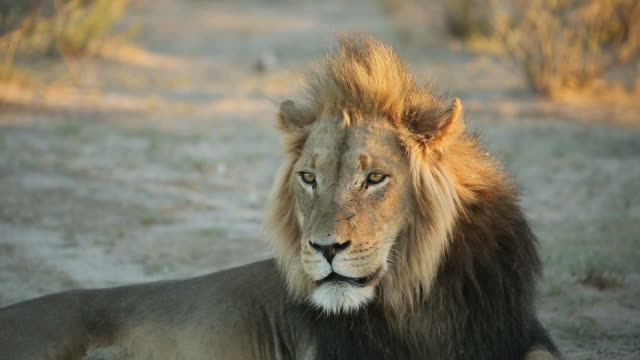 Big male African lion video