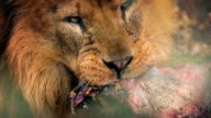 Big Male Lion Eating Dead Animal Meat video