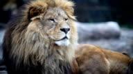 Big male lion lying down. video