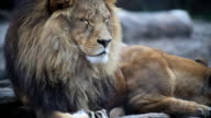 Big male lion. video