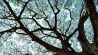 Big Mimosa tree with sunlight slider scene video
