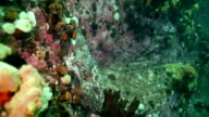 Big octopus in the stone seabed in search of food. video