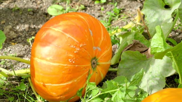 A big orange squash or calabaza in the ground video