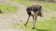 Big ostrich picking some foods on the ground video