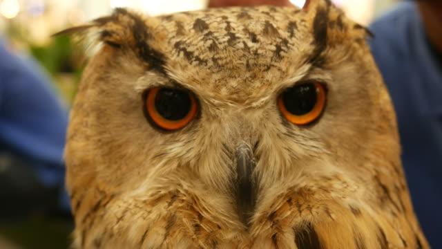 big owl video