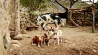 Big Pig Family video
