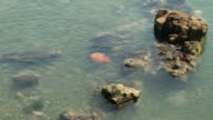 Big pink jellyfish floats in water at the coast. video