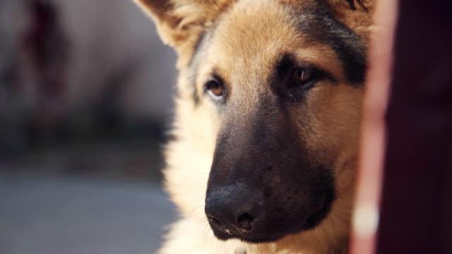 Big pretty dog tilting head video