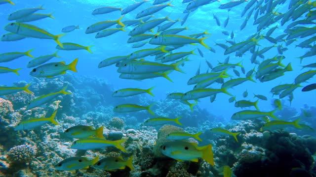 Big school of snapper on Red Sea / Marsa Alam / Egypt video