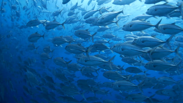 Big school of trevally jack fish swimming undersea video