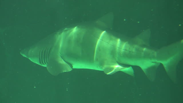 Big Shark Swimming Slowly Underwater video