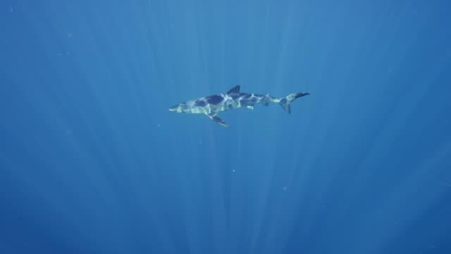 Big shark swims slowly through open ocean looking for prey video