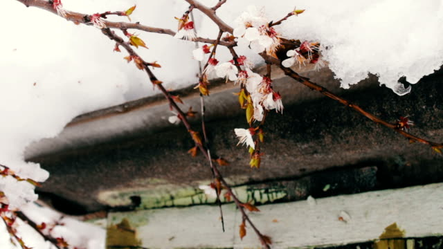 Big snow cap on the roof of the house on the corner of the house,Branches of a flowering apple tree video