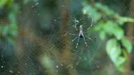 big spider on web video