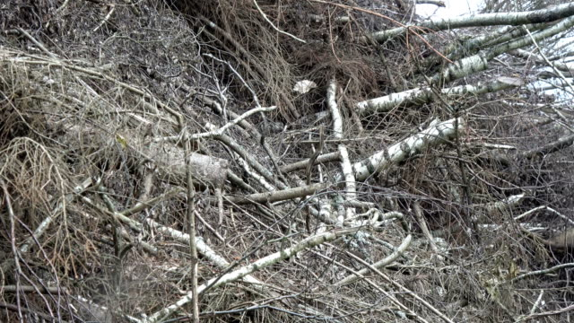 Big stack tree branches in forest video