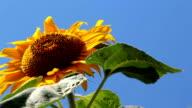 Big Sunflower close-up video