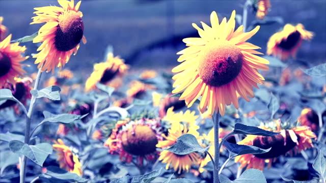 Big sunflowers video