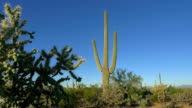 CLOSE UP: Big thorny cactuses growing in beautiful desert landscape video