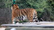 Big tiger. video