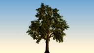 Big tree growing video