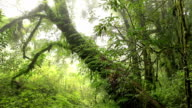 big tree in deep tropical rainforest, dolly shot video