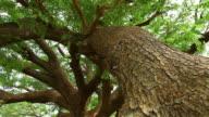 Big tree video